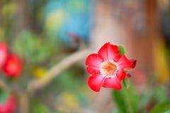 Flores da azálea, conceito de jardinagem floral ou terra traseira do w Imagem de Stock