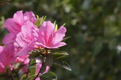 Flores da azálea da mola Imagem de Stock Royalty Free