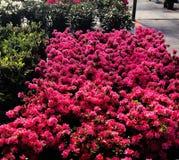 Flores da azálea em um berçário imagens de stock royalty free