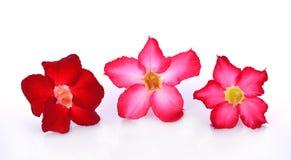 Flores da azálea no fundo branco Foto de Stock