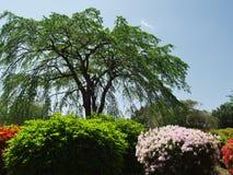 Flores da azálea no parque da montanha de Komuro Fotografia de Stock