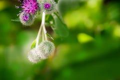 Flores da bardana com cabeças fechados Fotos de Stock Royalty Free