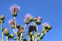 Flores da bardana no prado De encontro ao c?u azul Disparado de abaixo foto de stock royalty free