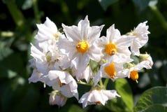 Flores da batata Fotografia de Stock Royalty Free