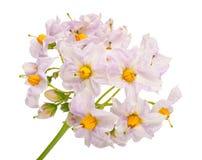 Flores da batata Imagens de Stock Royalty Free
