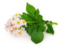 Flores da batata Fotografia de Stock