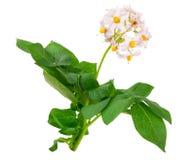 Flores da batata Foto de Stock