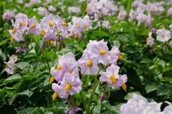 Flores da batata na luz solar brilhante Imagem de Stock