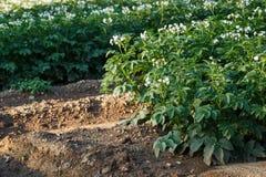 Flores da batata que florescem no campo Fotos de Stock Royalty Free