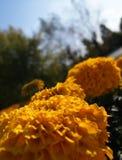Flores da bola do ouro Fotos de Stock Royalty Free
