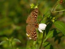 Flores da borboleta de Brown e da agulha espanhola Foto de Stock Royalty Free