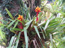 Flores da bromeliácea fixadas na árvore fotos de stock royalty free