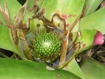 Flores da bromeliácea fixadas no assoalho imagens de stock