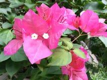 Flores da buganvília Imagem de Stock Royalty Free