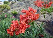 Flores da buganvília foto de stock