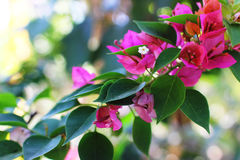 Flores da buganvília Imagens de Stock