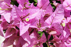 Flores da buganvília Fotografia de Stock Royalty Free