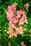 Flores da buganvília do vintage Fotos de Stock Royalty Free