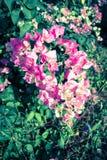 Flores da buganvília do vintage Fotografia de Stock