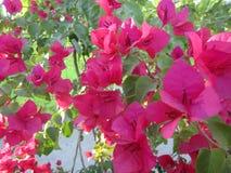 Flores da buganvília no jardim Fotos de Stock Royalty Free