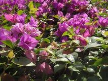 Flores da buganvília no jardim Foto de Stock Royalty Free