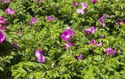 Flores da cão-rosa Fotos de Stock Royalty Free