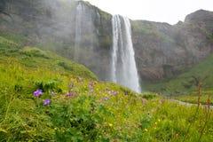 Flores da cachoeira e do prado de Seljalandsfoss, Islândia Imagens de Stock