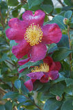 Flores da camélia de Sasangua Foto de Stock
