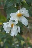 Flores da camélia do óleo do chá Foto de Stock