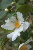 Flores da camélia do óleo do chá Imagem de Stock