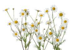 Flores da camomila Foto de Stock