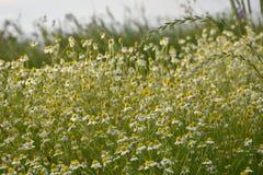 Flores da camomila Fotos de Stock Royalty Free