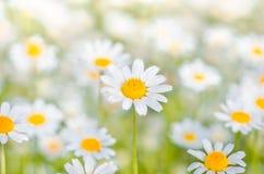 Flores da camomila como o fundo fotografia de stock royalty free