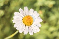 Flores da camomila como o fundo fotografia de stock