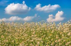 Flores da camomila como o fundo fotos de stock royalty free