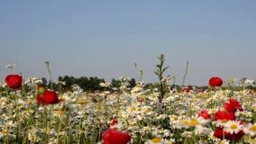 Flores da camomila de campo vídeos de arquivo