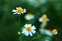 Flores da camomila em um campo em um dia ensolarado fotografia de stock