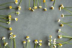 Flores da camomila em um fundo concreto Imagens de Stock Royalty Free