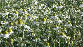 Flores da camomila em um prado filme