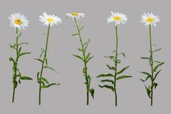 Flores da camomila da mola isoladas Fotos de Stock Royalty Free