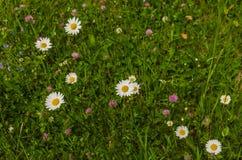 flores da camomila na grama Fotografia de Stock Royalty Free