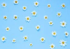 Flores da camomila no fundo azul Vista superior Copie o espaço Imagem de Stock