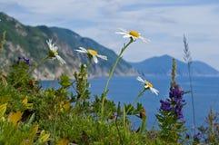 Flores da camomila no mar 3 Imagem de Stock Royalty Free