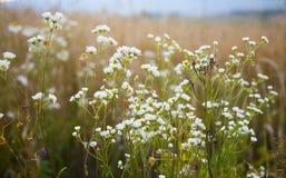 Flores da camomila selvagem do prado Foto de Stock
