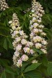 Flores da castanha fotografia de stock