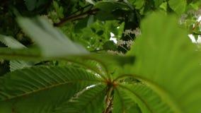 Flores da castanha durante o fim da estação de mola acima v?deo de 4 k filme