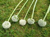 Flores da cebola Imagens de Stock