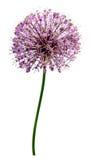 Flores da cebola Foto de Stock Royalty Free