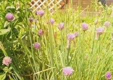 Flores da cebola Imagens de Stock Royalty Free