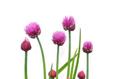 Flores da cebola Imagem de Stock Royalty Free